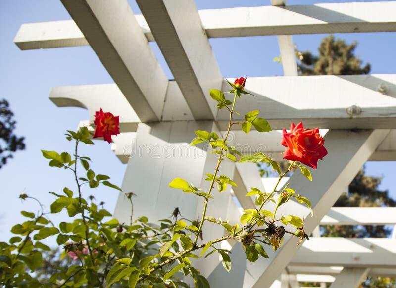 όμορφα bokeh τριαντάφυλλα φωτογραφιών κήπων ελαφριά φυσικά στοκ εικόνες