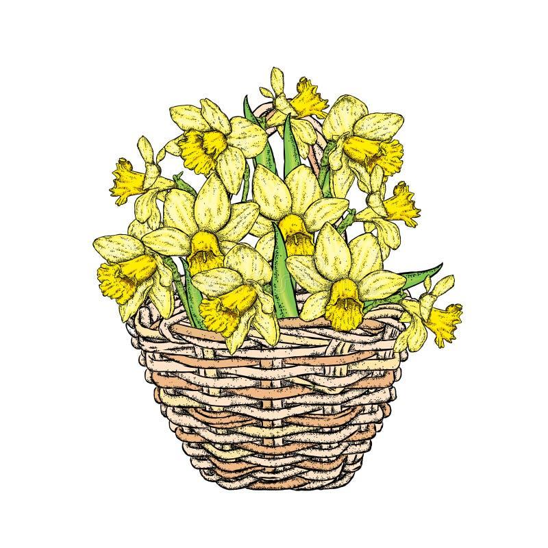 Όμορφα daffodils σε ένα ψάθινο καλάθι επίσης corel σύρετε το διάνυσμα απεικόνισης νάρκισσοι άνοιξη λουλουδιών ανθο&d ελεύθερη απεικόνιση δικαιώματος