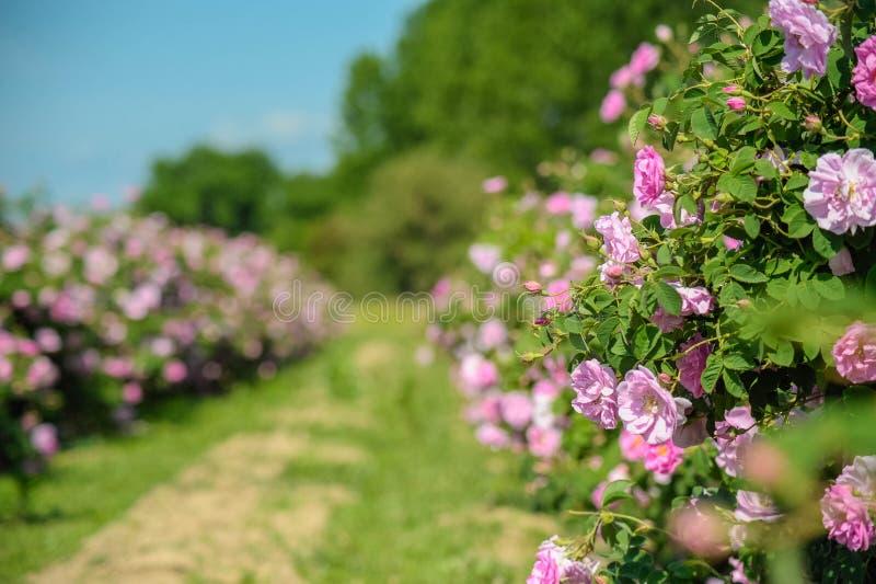 Όμορφα Damask τριαντάφυλλα στη φυτεία με τριανταφυλλιές στοκ εικόνα