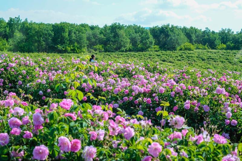 Όμορφα Damask τριαντάφυλλα στη φυτεία με τριανταφυλλιές στοκ εικόνες με δικαίωμα ελεύθερης χρήσης