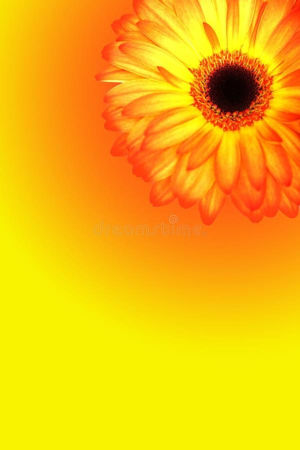 όμορφα gerberas στοκ εικόνες με δικαίωμα ελεύθερης χρήσης