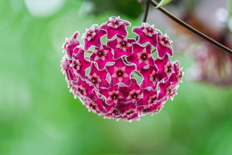 Όμορφα hoya λουλούδια στοκ εικόνες με δικαίωμα ελεύθερης χρήσης