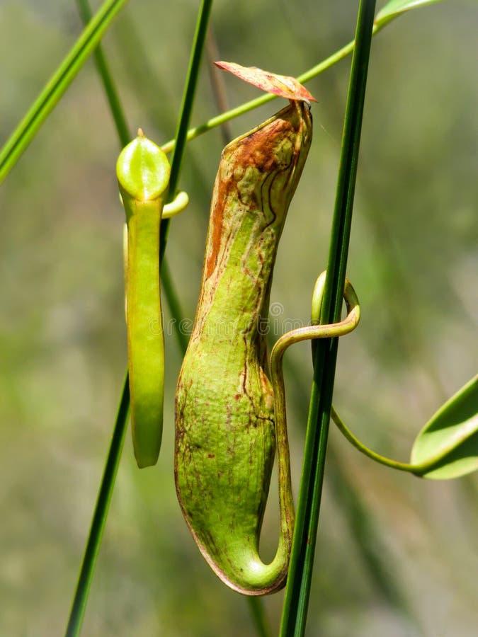 Όμορφα nepenthes στο εθνικό πάρκο bako στοκ εικόνες