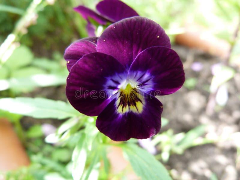 Όμορφα pansy λουλούδια στοκ εικόνες
