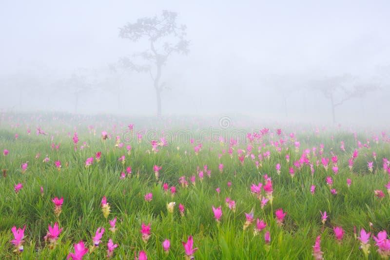 Όμορφες άγριες τουλίπες του Σιάμ που ανθίζουν στη ζούγκλα στο λουρί Ν Sai στοκ φωτογραφία με δικαίωμα ελεύθερης χρήσης