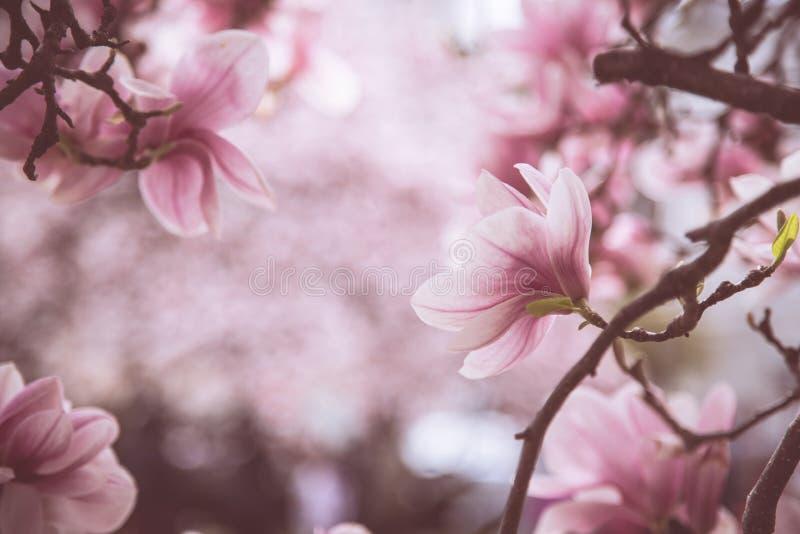 Όμορφες ανθίσεις magnolia την άνοιξη, Σάλτζμπουργκ, ομορφιά στοκ φωτογραφίες με δικαίωμα ελεύθερης χρήσης