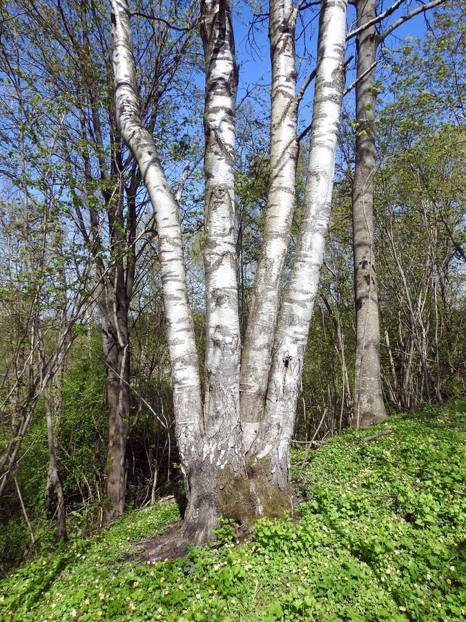 Όμορφες δέντρα και εγκαταστάσεις την άνοιξη, Λιθουανία στοκ εικόνα