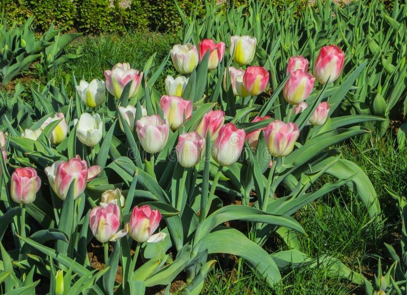 Όμορφες, ζωηρόχρωμες τουλίπες άνοιξη σε ένα πάρκο πόλεων στοκ εικόνα