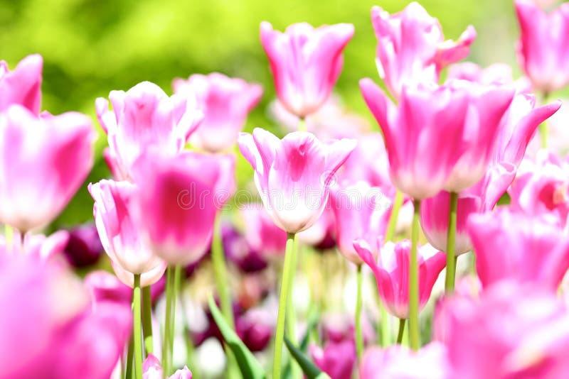 Όμορφες ζωηρόχρωμες τουλίπες στο πάρκο στοκ εικόνες με δικαίωμα ελεύθερης χρήσης