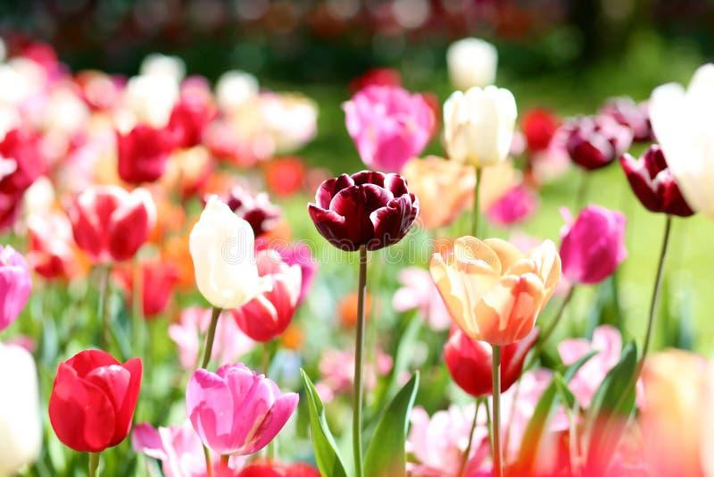Όμορφες ζωηρόχρωμες τουλίπες στο πάρκο στοκ φωτογραφία