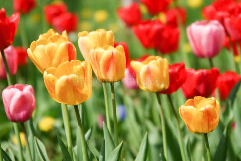 Όμορφες κίτρινες και κόκκινες τουλίπες στο αγροτικό πάρκο Λουλούδια κήπων Μέρη της πράσινης βλάστησης στοκ εικόνα με δικαίωμα ελεύθερης χρήσης