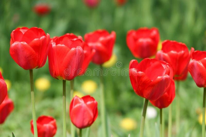 Όμορφες κίτρινες και κόκκινες τουλίπες στο αγροτικό πάρκο Λουλούδια κήπων Μέρη της πράσινης βλάστησης στοκ εικόνες