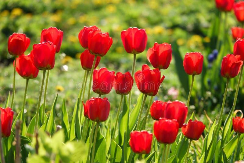 Όμορφες κίτρινες και κόκκινες τουλίπες στο αγροτικό πάρκο Λουλούδια κήπων Μέρη της πράσινης βλάστησης στοκ φωτογραφίες με δικαίωμα ελεύθερης χρήσης