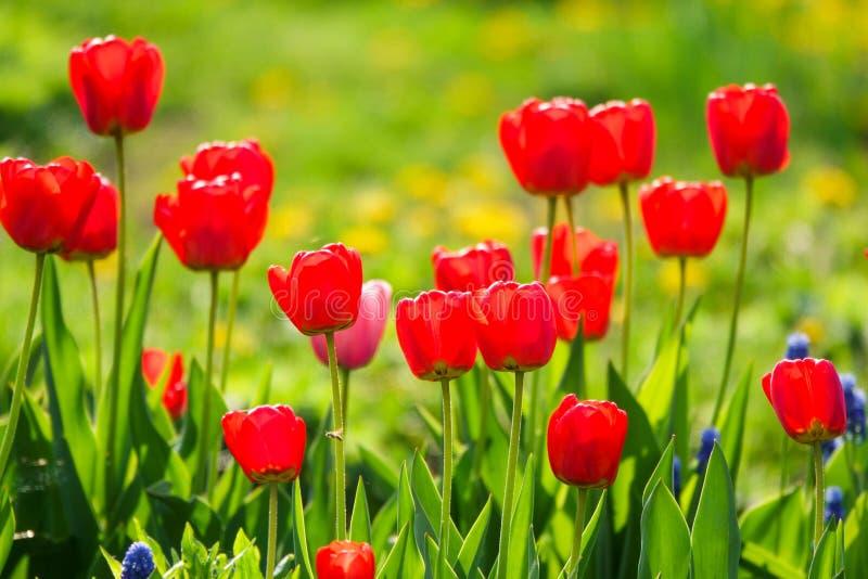 Όμορφες κίτρινες και κόκκινες τουλίπες στο αγροτικό πάρκο Λουλούδια κήπων Μέρη της πράσινης βλάστησης στοκ φωτογραφία με δικαίωμα ελεύθερης χρήσης