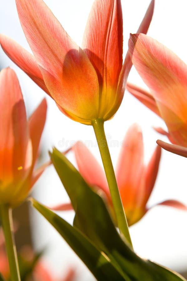 όμορφες μακρο κόκκινες τ στοκ φωτογραφία με δικαίωμα ελεύθερης χρήσης