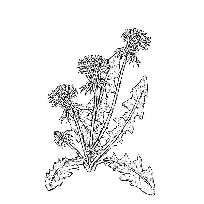 όμορφες πικραλίδες επίσης corel σύρετε το διάνυσμα απεικόνισης Φυτά και λουλούδια διανυσματική απεικόνιση