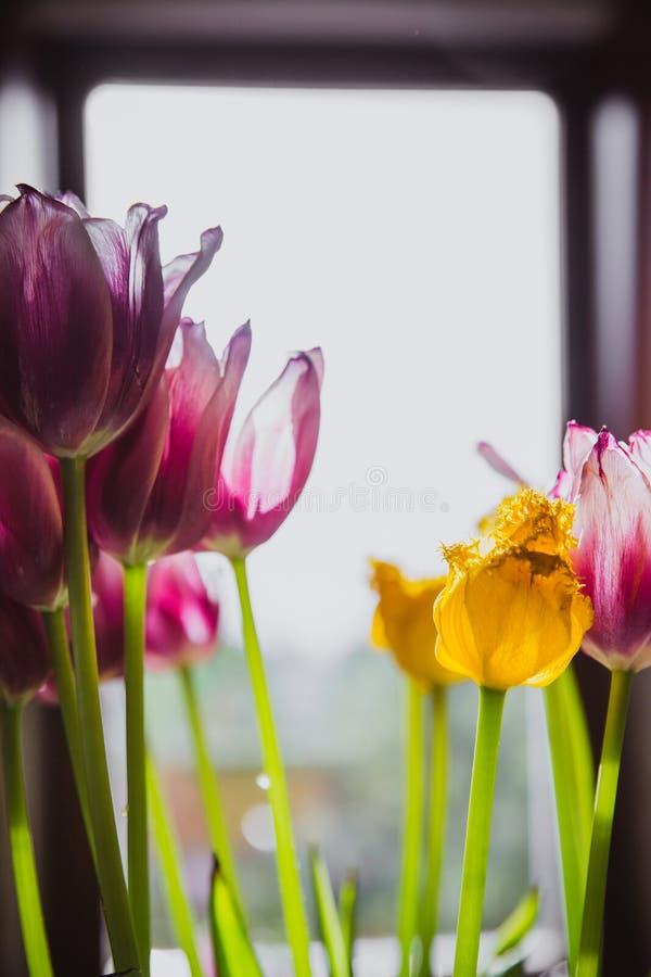 Όμορφες πορφυρές και κίτρινες τουλίπες κοντά στο παράθυρο r στοκ εικόνες με δικαίωμα ελεύθερης χρήσης