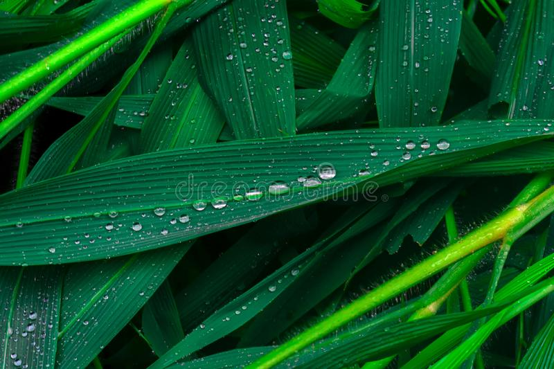 Όμορφες πτώσεις νερού στα φρέσκα πράσινα φύλλα μετά από τη βροχή στοκ εικόνα