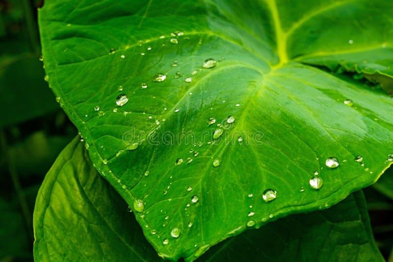 Όμορφες πτώσεις νερού στα φρέσκα πράσινα taro φύλλα μετά από τη βροχή στοκ εικόνα