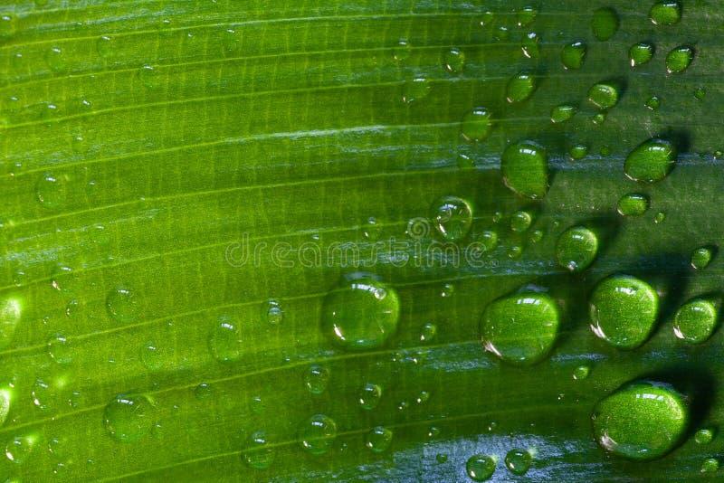 Όμορφες πτώσεις του σαφούς νερού βροχής σε ένα πράσινο φύλλο στοκ φωτογραφίες με δικαίωμα ελεύθερης χρήσης