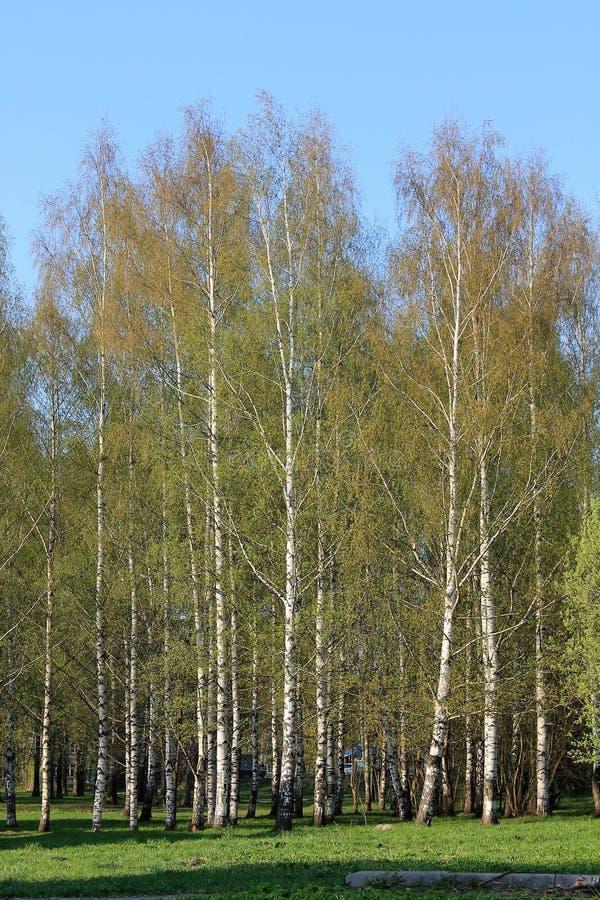 """Όμορφες ρωσικές άσπρες σημύδες â """"– 2 στοκ εικόνα"""