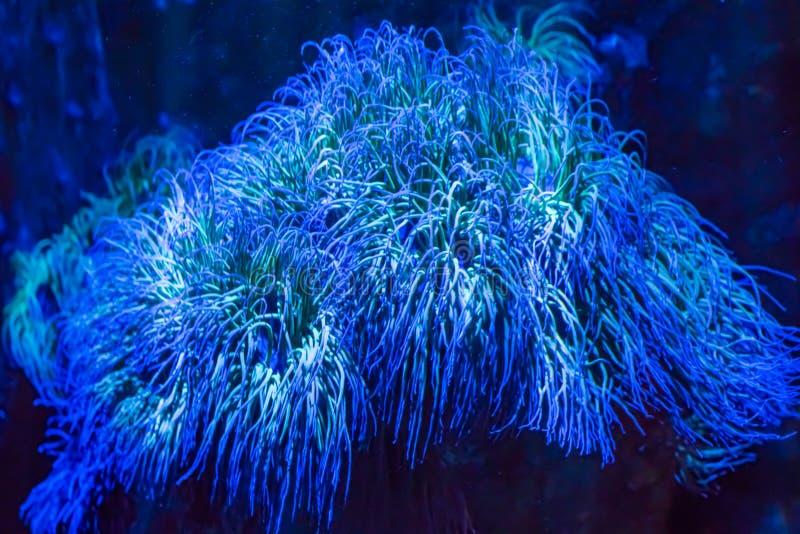 Όμορφες φωτεινές λάμποντας μπλε μεγάλες ζωικές εγκαταστάσεις anemone θάλασσας στο όνειρο κινηματογραφήσεων σε πρώτο πλάνο όπως το στοκ εικόνες