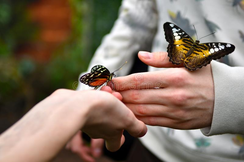Όμορφες χρωματισμένες τροπικές πεταλούδες με τα πορτοκαλής-μαύρα και κίτρινα φτερά στοκ εικόνα με δικαίωμα ελεύθερης χρήσης