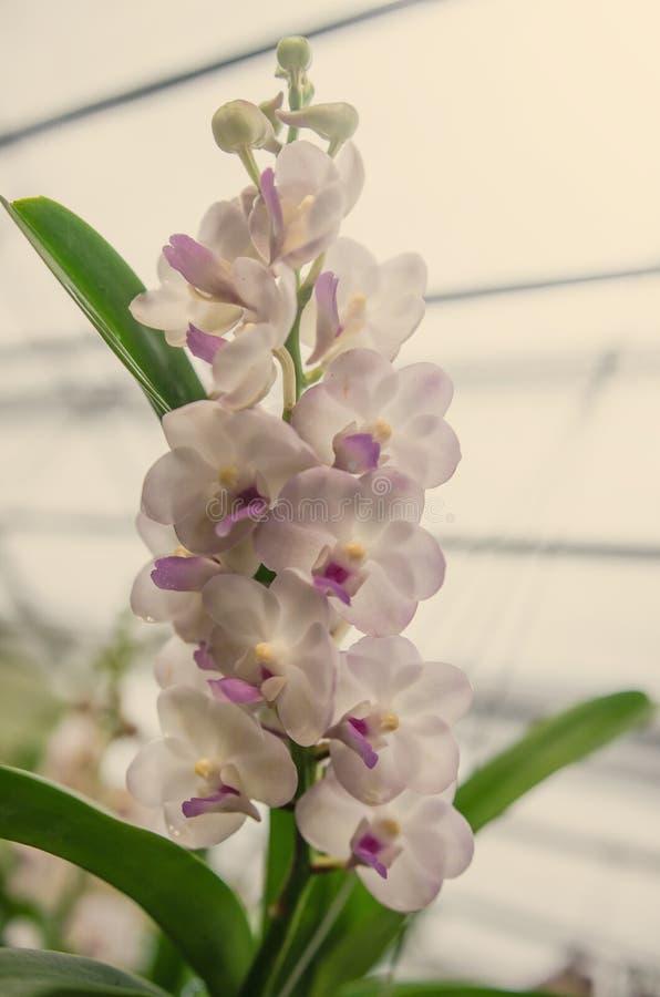 Όμορφη άνθιση ορχιδεών το πρωί στοκ εικόνα με δικαίωμα ελεύθερης χρήσης