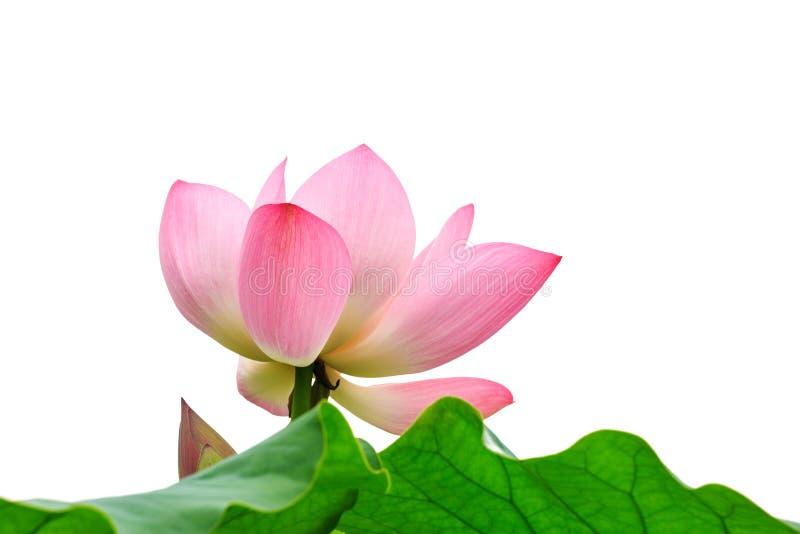 Όμορφη άνθιση λουλουδιών λωτού στοκ εικόνες με δικαίωμα ελεύθερης χρήσης