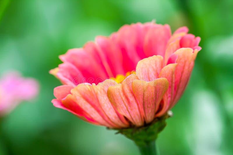 Όμορφη άνθιση Zinnias στοκ φωτογραφίες