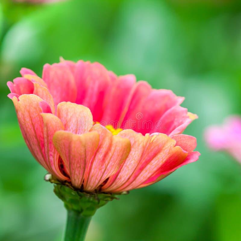 Όμορφη άνθιση Zinnias στοκ φωτογραφίες με δικαίωμα ελεύθερης χρήσης