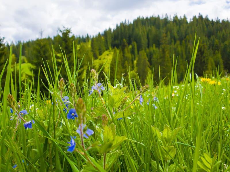 Όμορφη άποψη κινηματογραφήσεων σε πρώτο πλάνο της πράσινης χλόης φύσης, Καρπάθια χλωρίδα βουνών, λιβάδι πέρα από το υπόβαθρο ξύλω στοκ φωτογραφίες με δικαίωμα ελεύθερης χρήσης