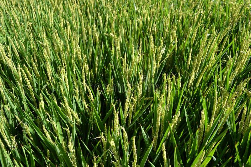 Όμορφη άποψη στο πράσινο στρατόπεδο ρυζιού σε μια ηλιόλουστη θερινή ημέρα στοκ εικόνα με δικαίωμα ελεύθερης χρήσης