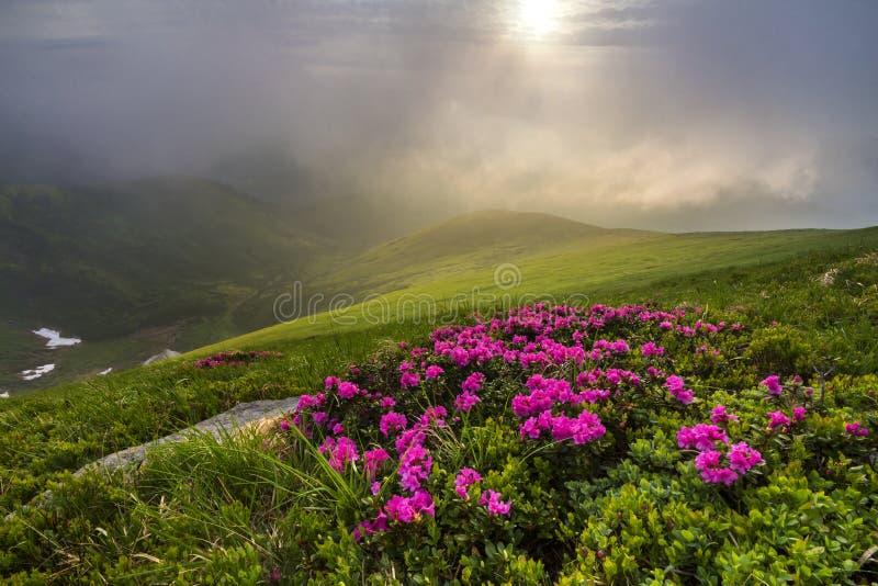 Όμορφη άποψη των ρόδινων rhododendron λουλουδιών rue που ανθίζουν στο moun στοκ φωτογραφία με δικαίωμα ελεύθερης χρήσης