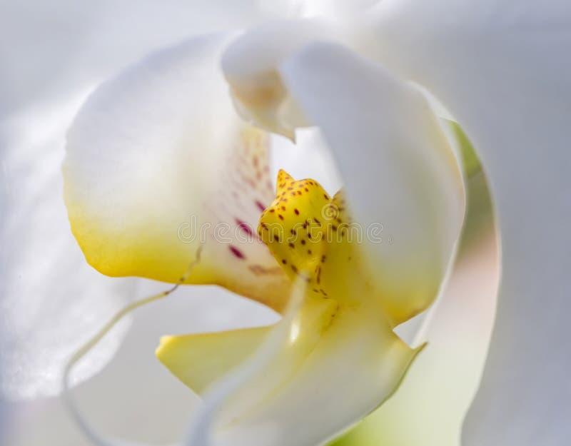 Όμορφη άσπρη κινηματογράφηση σε πρώτο πλάνο λουλουδιών ορχιδεών στοκ φωτογραφίες