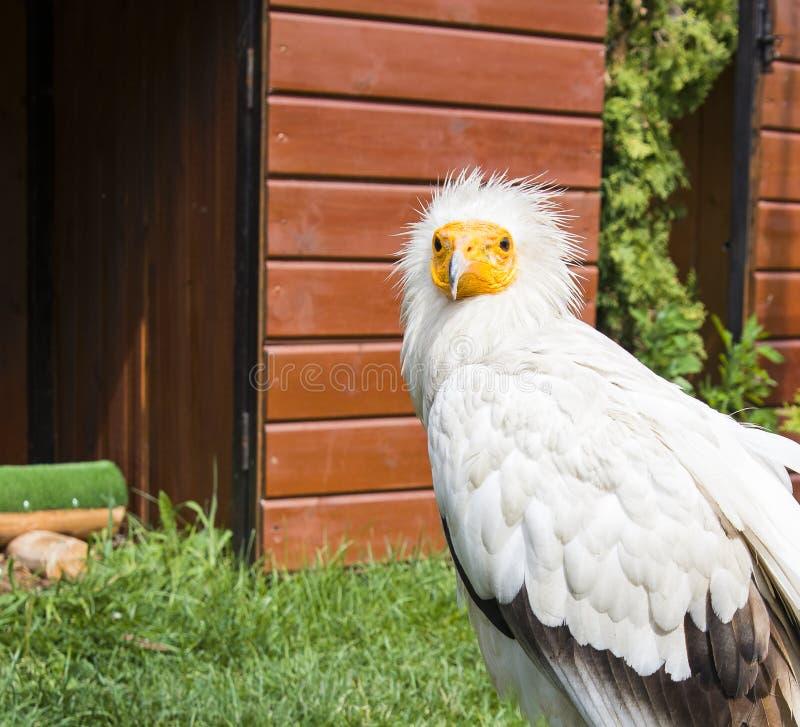 Όμορφη άσπρη συνεδρίαση γύπων πουλιών και κοίταγμα προς τα εμπρός, πορτρέτο κινηματογραφήσεων σε πρώτο πλάνο Percnopterus Neophor στοκ εικόνα με δικαίωμα ελεύθερης χρήσης