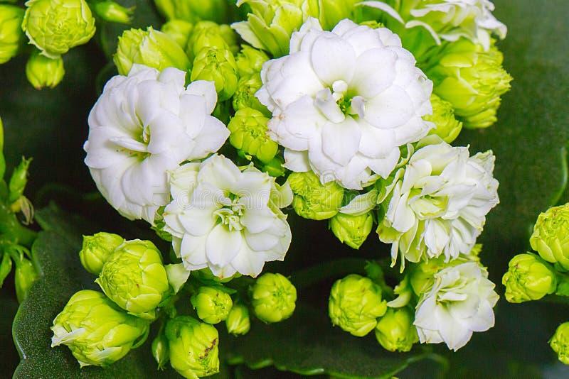 Όμορφη άσπρη τοπ άποψη κινηματογραφήσεων σε πρώτο πλάνο Kalanchoe λουλουδιών στοκ φωτογραφίες
