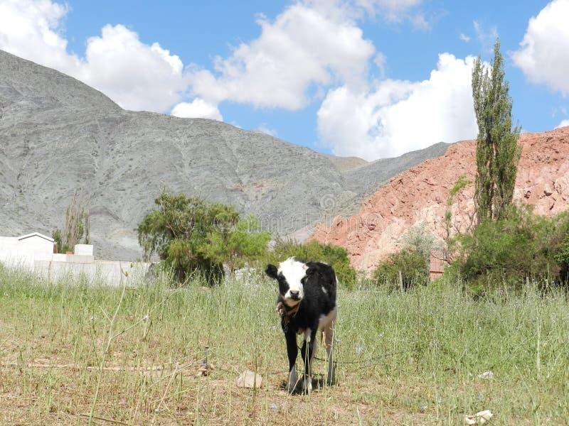 Όμορφη αγελάδα σε ένα χωριό σε Jujuy Αργεντινοί στοκ εικόνες με δικαίωμα ελεύθερης χρήσης