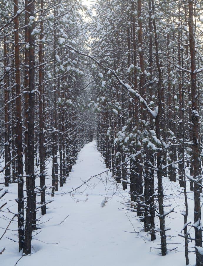Όμορφη αλέα χειμερινών πεύκων στα δασικά χιονισμένα δέντρα στοκ εικόνες με δικαίωμα ελεύθερης χρήσης