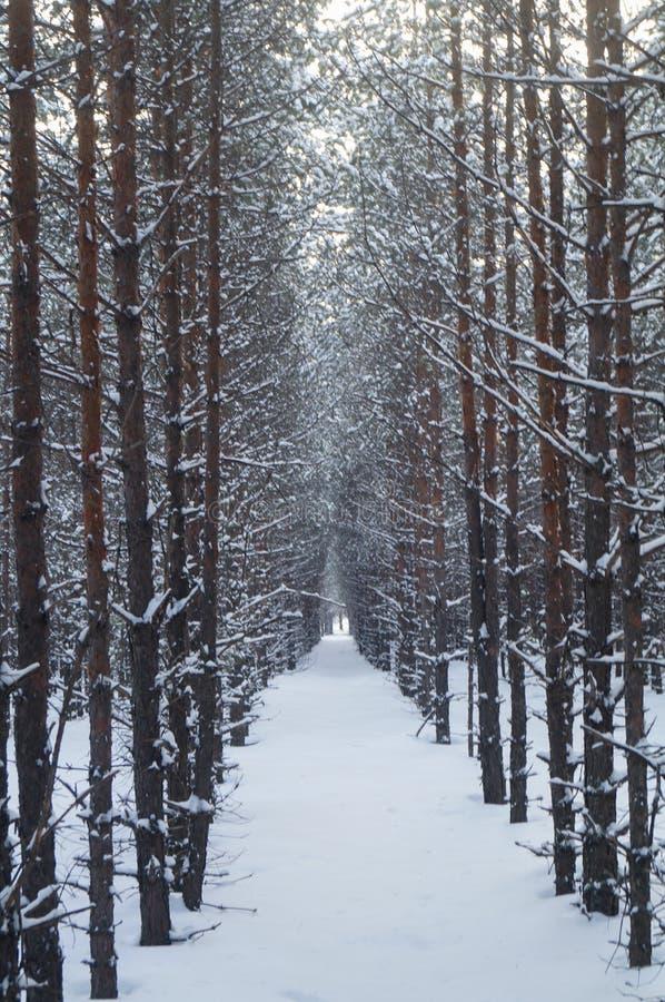 Όμορφη αλέα χειμερινών πεύκων στα δασικά χιονισμένα δέντρα στοκ φωτογραφία