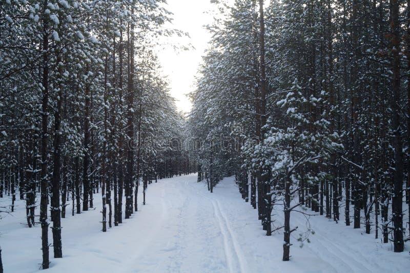 Όμορφη αλέα χειμερινών πεύκων στα δασικά χιονισμένα δέντρα στοκ φωτογραφίες