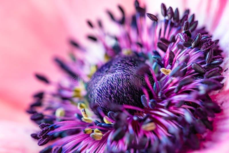 Όμορφη ανθίζοντας κινηματογράφηση σε πρώτο πλάνο λουλουδιών Anemone Μακρο φωτογραφία ενός γραφικού λουλουδιού Κόκκινο λουλούδι με στοκ εικόνες
