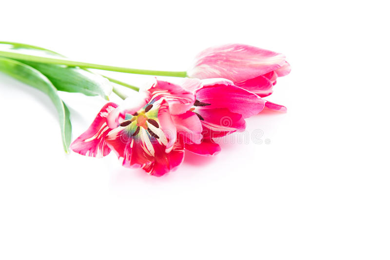 Όμορφη ανθοδέσμη των ρόδινων ιωδών τουλιπών που απομονώνονται στοκ εικόνες