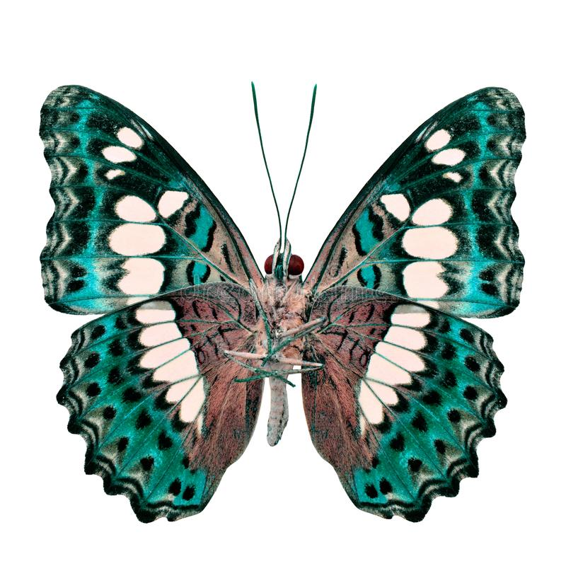 Όμορφη ανοικτό πράσινο πεταλούδα, κοινός διοικητής (procris moduza) κάτω από τα φτερά στο σχεδιάγραμμα χρώματος fancyl που απομον στοκ εικόνα