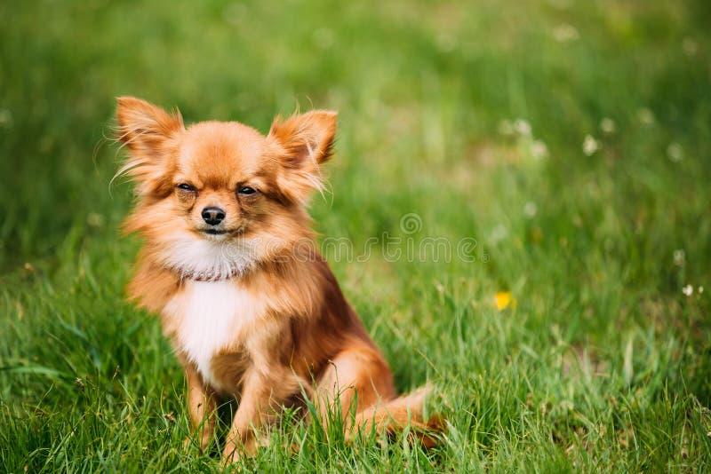 Όμορφη αστεία νέα κόκκινη καφετιά και άσπρη μικροσκοπική συνεδρίαση σκυλιών Chihuahua στοκ φωτογραφίες