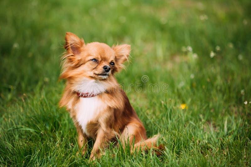 Όμορφη αστεία νέα κόκκινη καφετιά και άσπρη μικροσκοπική συνεδρίαση σκυλιών Chihuahua στοκ εικόνα