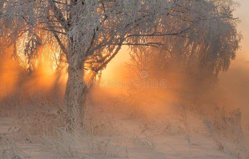 Όμορφη αυγή πρωινού στο χειμερινό δάσος με τις καταπληκτικές ακτίνες ήλιων στοκ φωτογραφίες με δικαίωμα ελεύθερης χρήσης