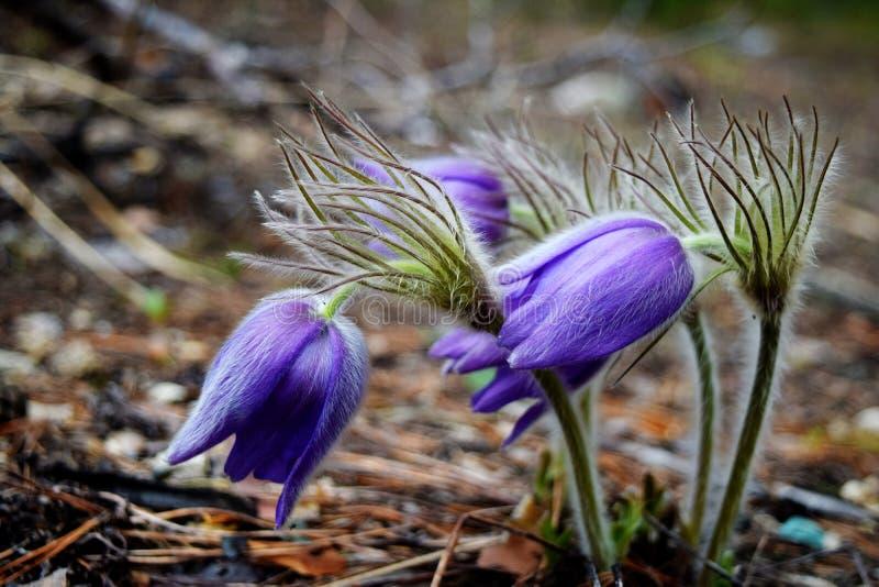 Όμορφη βιολέτα snowdrops στο δάσος, πρώτα λουλούδια άνοιξη Νέο ξανασχεδιασμένο απελευθέρωση τραπεζογραμμάτιο δολαρίων στοκ εικόνα με δικαίωμα ελεύθερης χρήσης