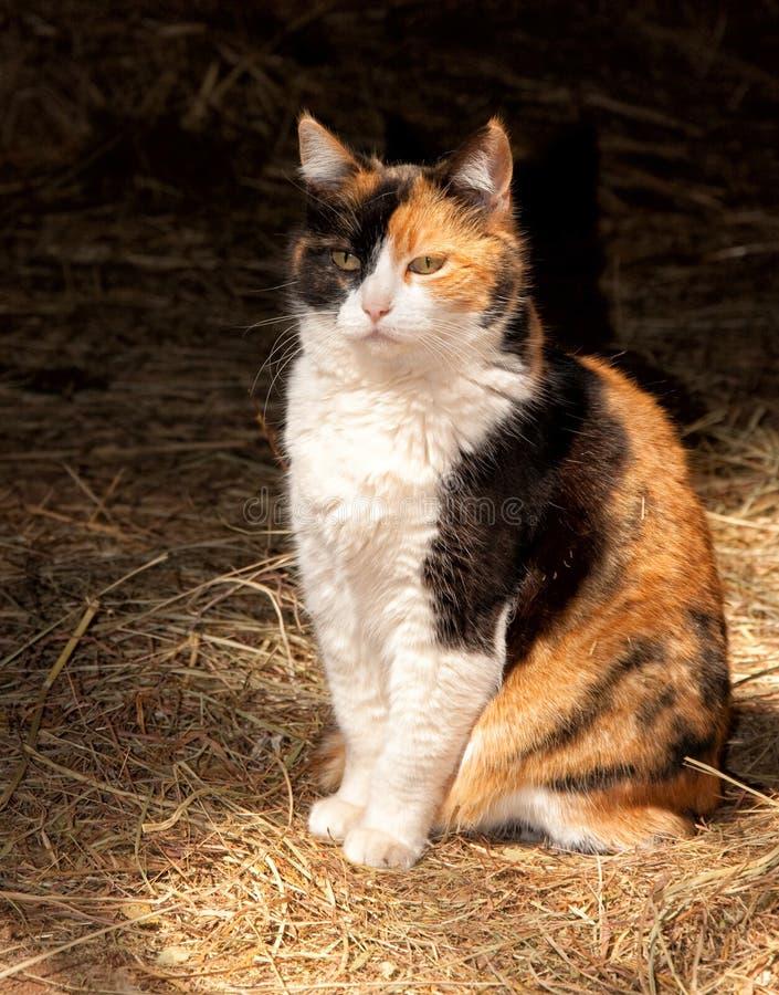 Όμορφη γάτα βαμβακερού υφάσματος στο σκοτεινό κλίμα στοκ εικόνες