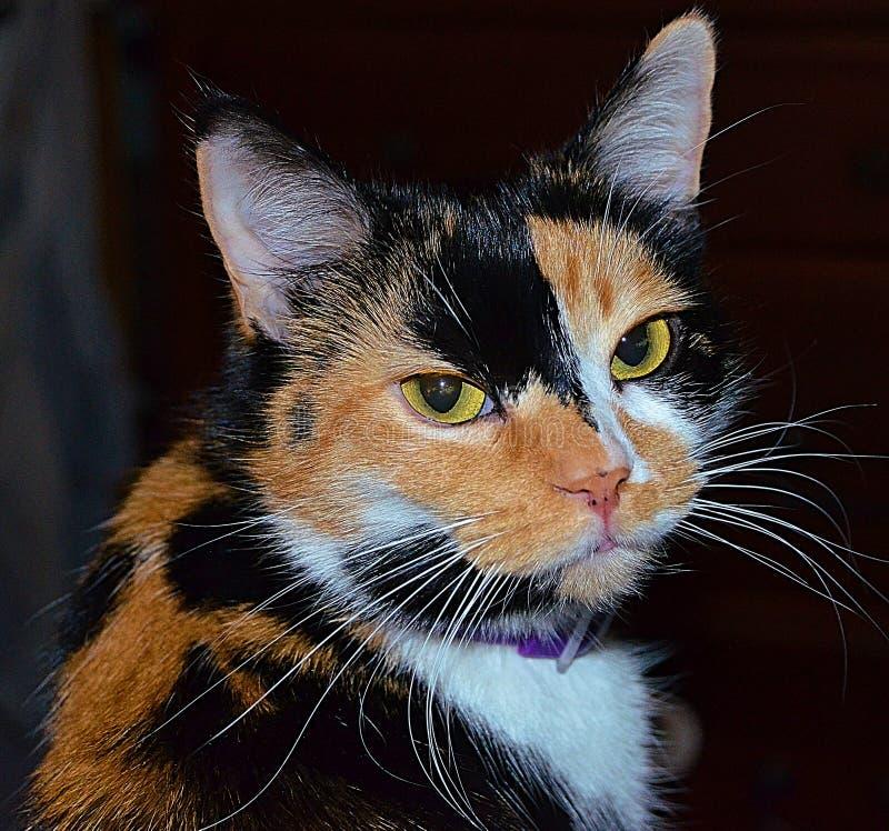 Όμορφη γάτα βαμβακερού υφάσματος στοκ φωτογραφίες